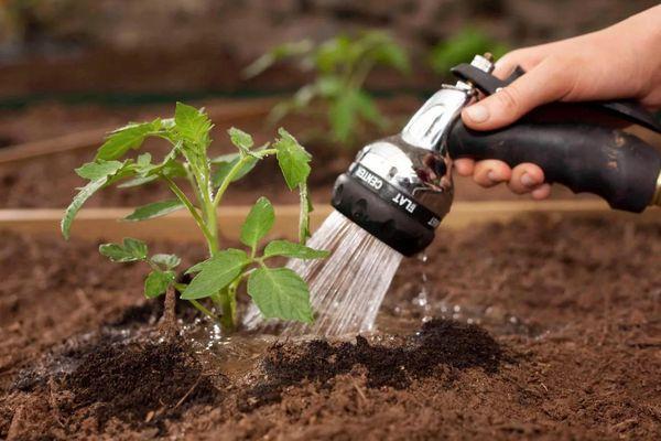 полив томата