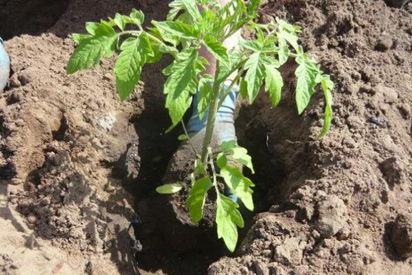 Высадка томата