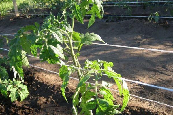 Подвязанный помидор