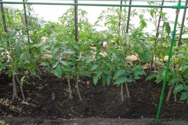 Саженцы томата