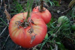 Описание томата Бийская роза и его характеристики, особенности сорта