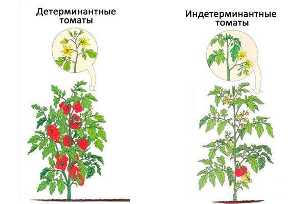 сорта томата