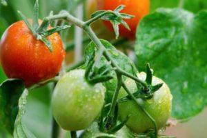Характеристика томата Майская роза: выращивание сорта