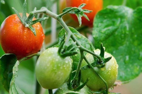 Ранний томат