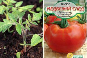 Описание и характеристика томата Медвежий след, особенности выращивания