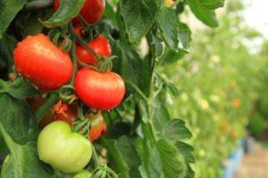 Описание томата Перемога и его характеристики, выращивание и уход