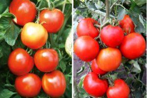 Характеристика сорта помидоров Сильвестр f1, его описание