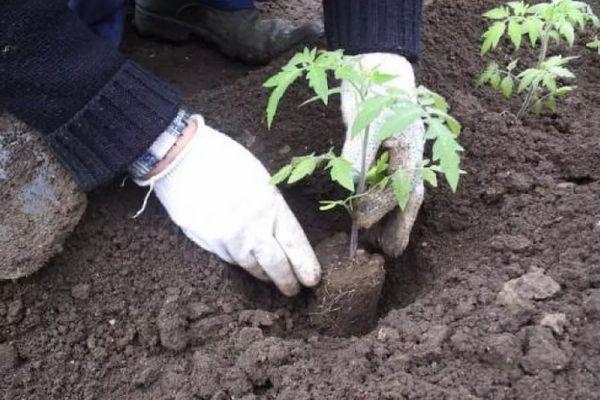 Высаживание помидора