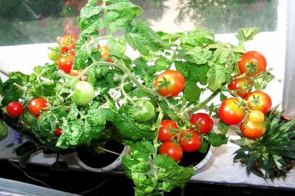 Выращивание помидор