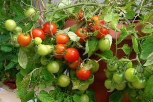 Описание сорта томата Григорашик f1, выращивание и отзывы