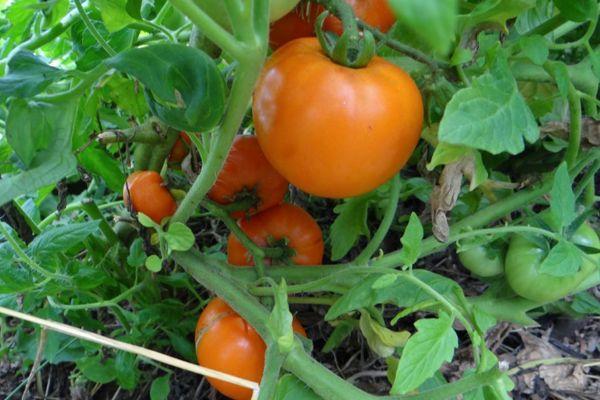 Оранжевый томат