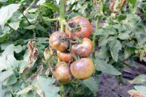 Причины и лечение альтернариоза томатов, борьба с сухими пятнами на листьях