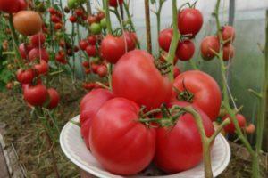 Описание и преимущества томата Малиновый закат, культивирование и выращивание сорта