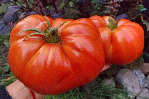 Большие помидоры