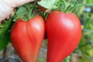 Характеристика томата Африканская лиана, разновидности и выращивание сорта