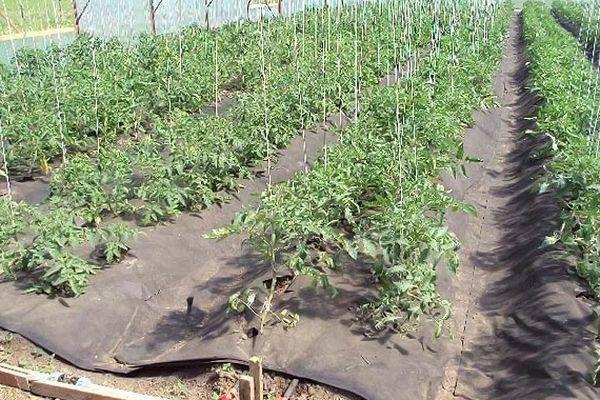 мульчивирование томатов