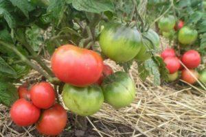 Описание томатов Снежная сказка и рекомендации по выращиванию