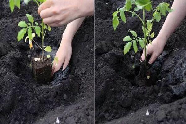 Посадка ростков