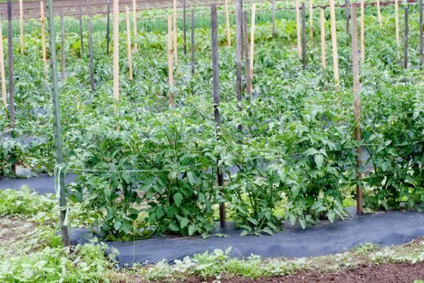 Привязанные помидоры