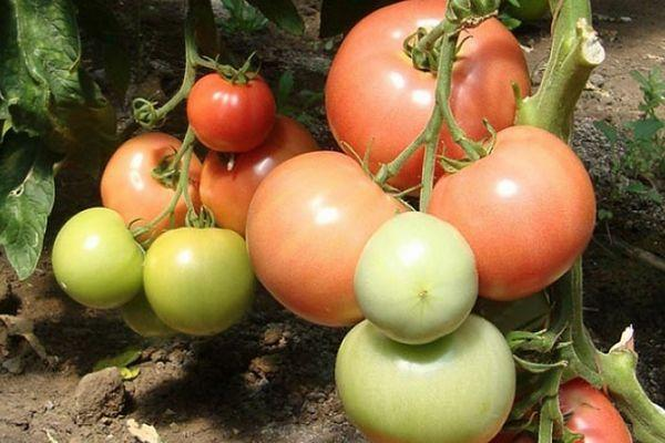 Кисти помидор