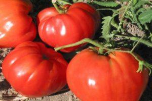 Описание томата Бифштекс, особенности разведения сорта и урожайность
