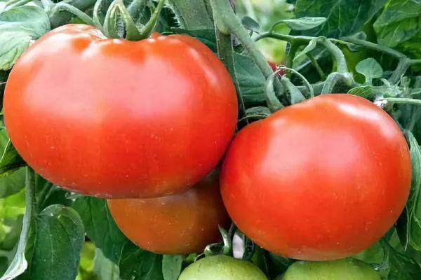 Ароматные томаты
