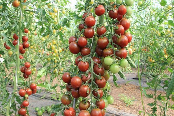 Кисть с томатами