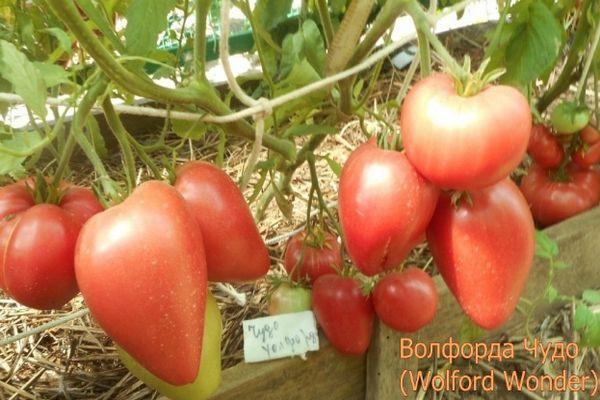 Среднеспелые помидоры