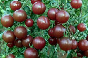 Описание томата Диковинка и рекомендации по выращиванию сорта