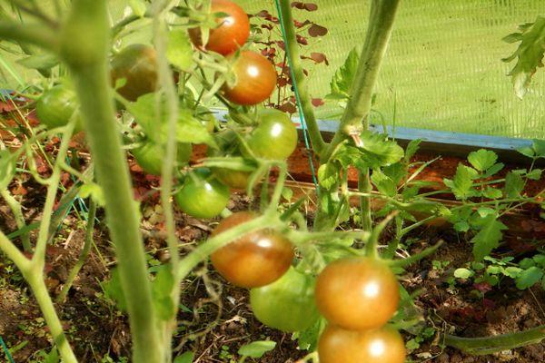 Выращивание помидора