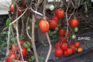 Описание томата Динар и его характеристика, особенности выращивания
