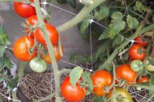 Общее описание томата Дворцовый и особенности выращивания