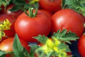 Характеристика и описание томата Джейн, агротехнические условия выращивания