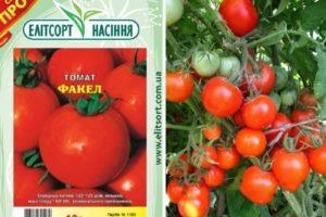 Описание томата Факел и характеристика плодов, выращивание и правила посадки