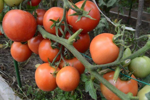 Ветвь томата