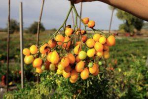 Описание томата Ильди и рекомендации по выращиванию растения