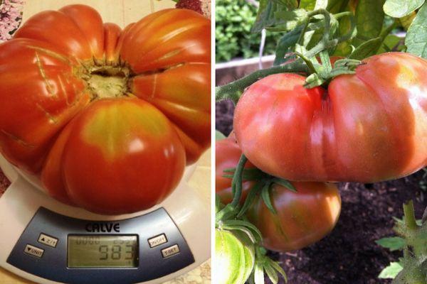 Крупноплодный томат