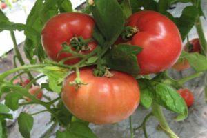 Описание томата Касамори, преимущества и особенности выращивания