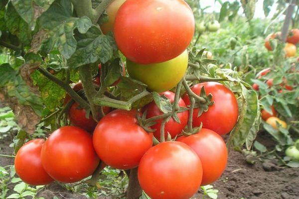 Куст помидор