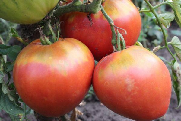Серцеплодные томаты
