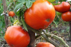 Описание томата Куум: правила посадки, уход и урожайность
