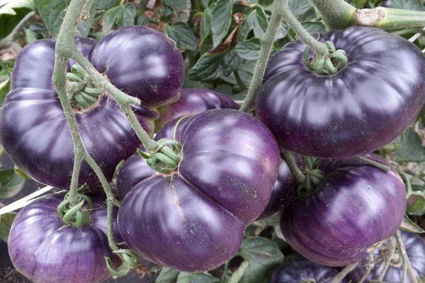 Синие помидоры