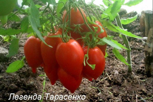 Помидоры Тарасенко