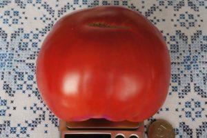 Описание сладкого томата Ленинградский гигант и выращивание рассады