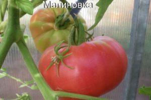 Описание томата Малиновка и агротехника выращивания