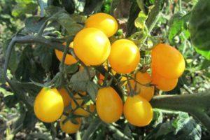 Описание томата Янтарная гроздь, выращивание и правила посадки