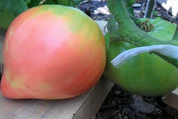 Крупный помидор