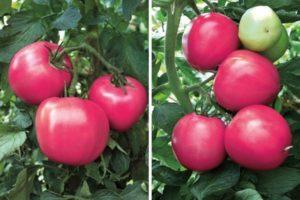 Описание и правила выращивания томата Малиновый рай