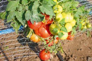 Описание детерминантного томата Московский скороспелый и выращивание растения