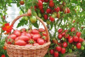 Описание томата Новинка Приднестровья, выращивание рассады и урожайность